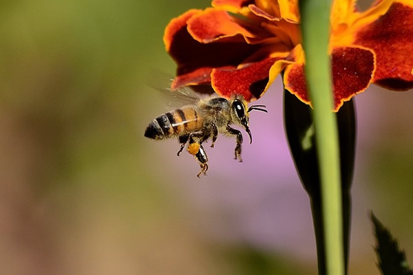 L'abeille garantit la fructification de vos arbres fruitiers