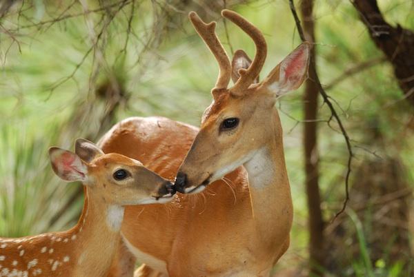 cerfs dans la forêt
