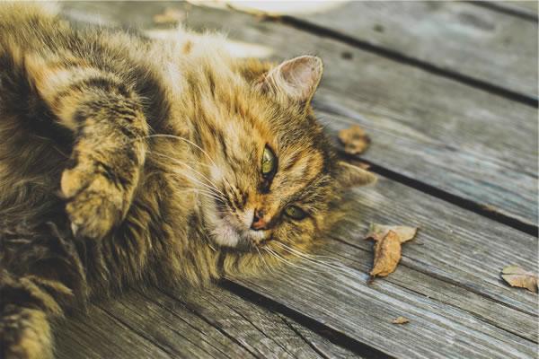 Citations et po�mes sur les chats