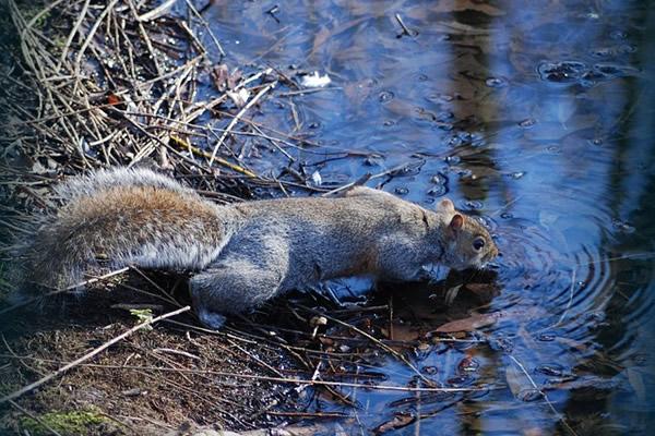 écureuil buvant de l'eau à la rivière