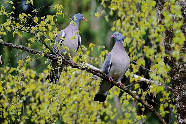 Couple d'oiseaux amoureux