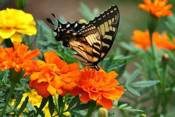 Joli papillon sur des oeillets d'Inde