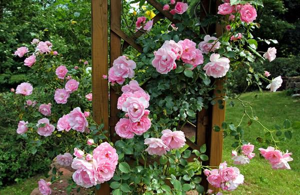 de jolis rosiers grimpants sur une treille